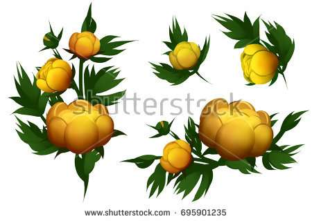 yellow_water_lilies_isolated_on_the_white_background