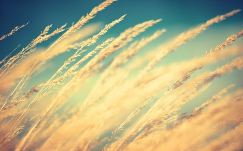 grass wheat grain macro 2560x1600