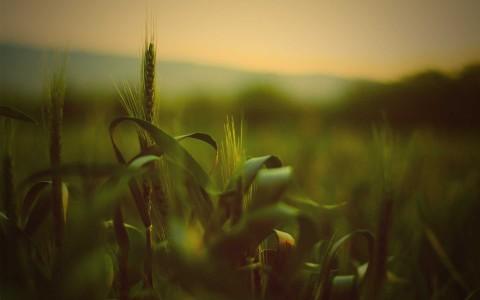 nature grass fields summer wheat 1920x1200